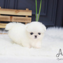 Teacup Micro Pekingese Puppies For Sale - Simba - a Pekingese puppy