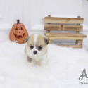 Teacup Micro Welsh Corgi Puppies For Sale - Cookie - a Welsh Corgi puppy