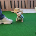 Teacup Micro French Bulldog Puppies For Sale - Muffin - a French Bulldog puppy