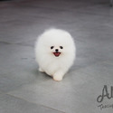 Mini Teacup Pomeranian Puppies For Sale - Angel - a Pomeranian puppy
