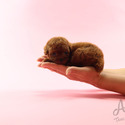 Mini Teacup Poodle Puppies For Sale - Jelly - a Poodle puppy