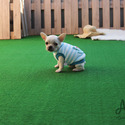 Mini Toy French Bulldog Puppies For Sale - Muffin - a French Bulldog puppy
