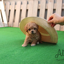 Teacup Toy Maltipoo Puppies For Sale - Mocha - a Malti Poo puppy