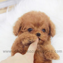 Teacup Toy Poodle Puppies For Sale - Toby - a Poodle puppy