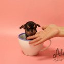 Teacup Mini Chihuahua Puppies For Sale - Pie - a Chihuahua puppy