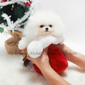 Toy Teacup Pomeranian Puppies For Sale - Angel - a Pomeranian puppy