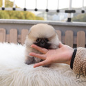 Teacup Toy Pomeranian Puppies For Sale - Brownie - a Pomeranian puppy