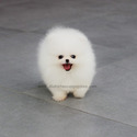 Teacup Toy Pomeranian Puppies For Sale - Angel - a Pomeranian puppy