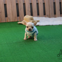 Teacup Toy French Bulldog Puppies For Sale - Muffin - a French Bulldog puppy
