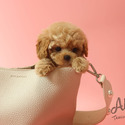 Teacup Toy Maltipoo Puppies For Sale - Rudolph - a Maltipoo puppy