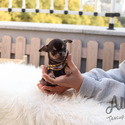 Toy Teacup Chihuahua Puppies For Sale - Pie - a Chihuahua puppy