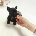 Teacup Mini French Bulldog Puppies For Sale - Bella - a French Bulldog puppy