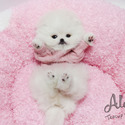 Toy Teacup Pomeranian Puppies For Sale - Merry - a Pomeranian puppy