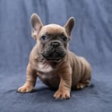 Dream Big Frenchies owned by Dream Big Frenchies