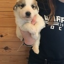 Great Pyrenees Puppy- Grey Collar - a Great Pyrenees puppy