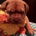 Sinnamon- Yellow Collar - a Dogue de Bordeaux puppy