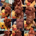 Ruby - Green Collar - a Dogue de Bordeaux puppy