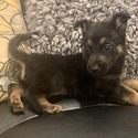 Bo - a German Shepherd Dog puppy