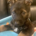 Star - a German Shepherd Dog puppy