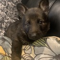 Sarge - a German Shepherd Dog puppy