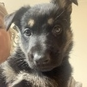 Gem - a German Shepherd Dog puppy