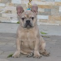 AKC FRENCHIES - a French Bulldog puppy