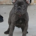 AKC FRENCH BULLDOG PUPPIES - a French Bulldog puppy