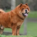 Chow Chow Puppies for Sale - a Chow Chow puppy