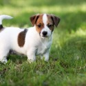 Jack Russell Terrier Puppies - a Jack Russell Terrier puppy