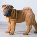 Shar Pei Puppies for Sale - Central Park Puppies - a Australian Shepherd puppy