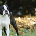 Boston Terrier For Sale - Central Park Puppies - a Boston Terrier puppy