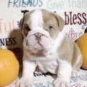AKC Champion Bloodline English Bulldog Puppies! - a Bulldog puppy
