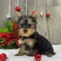 The New - a Yorkshire Terrier puppy