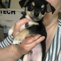 Philly - a Chihuahua puppy