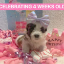 Tinsel - a Shichon puppy