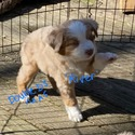 River - a Miniature Australian Shepherd puppy