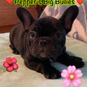 Winston - a French Bulldog puppy
