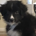 Rheed - a Miniature Australian Shepherd puppy